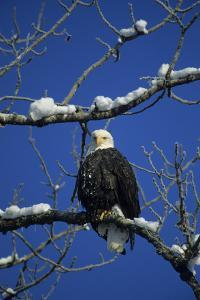 Bald Eagle, Chilkat River, Haines, Alaska, USA by Gerry Reynolds