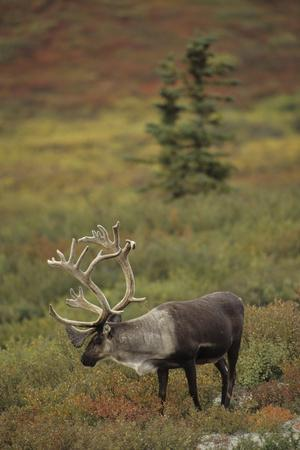 Bull Caribou Wildlife, Denali National Park, Alaska, USA