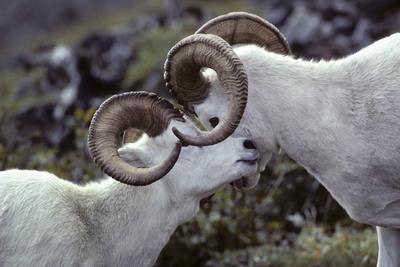 Dall Sheep, Dall Ram, Wildlife, Denali National Park, Alaska, USA