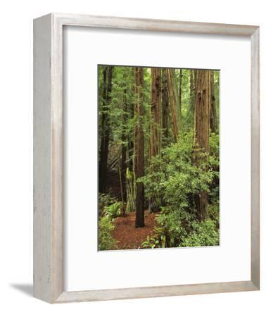 Muir Woods National Monument, Redwood Forest, California, Usa