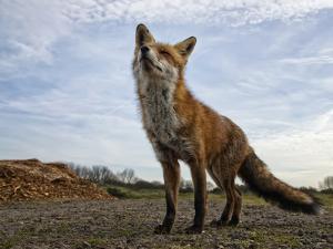 The Curious Fox by Gert Van