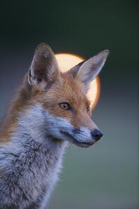 Urban Red Fox (Vulpes Vulpes) Portrait, with Light Behind, London, June 2009 by Geslin