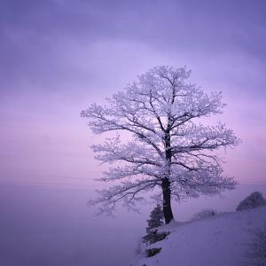 Snowy Tree in A Winter Twilight by gestockphoto