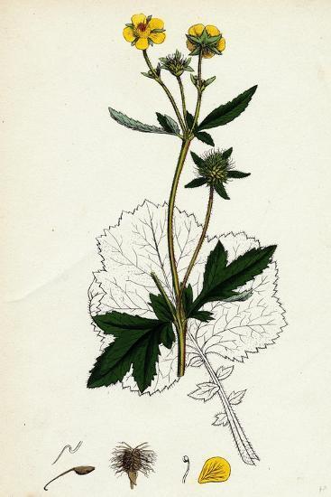 Geum Urbanum Wood Avens--Giclee Print