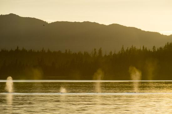 Geysers of Spray from Six Humpback Whales Exhaling in the Inside Passage-Jonathan Kingston-Photographic Print