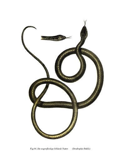 Ghamcheh Snake--Giclee Print