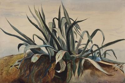 Study of an Agave, with Additions by a Borbone Pupil