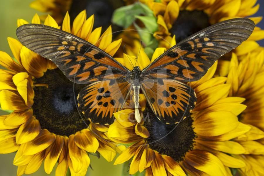 Sưu tập Bộ cánh vẩy 2 - Page 61 Giant-african-swallowtail-butterfly-papilio-antimachus_u-l-pyqpkk0