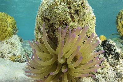 Giant Anemone, Lighthouse Reef, Atoll, Belize-Pete Oxford-Photographic Print