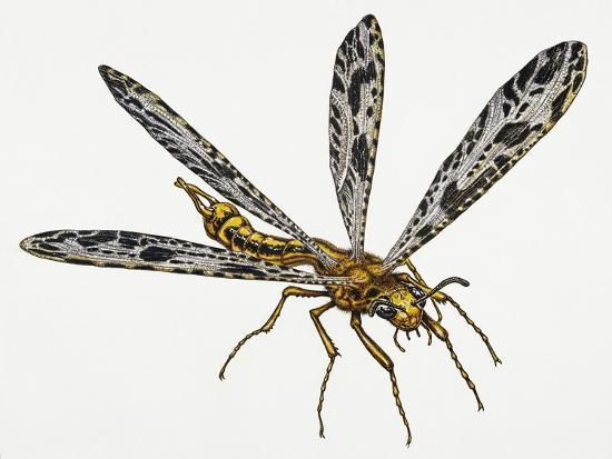 Giant Ant Lion (Palpares Libelluloides), Myrmeleonidae. Artwork by Neil Lloyd--Giclee Print