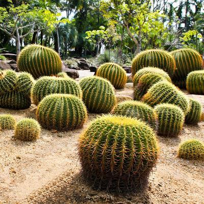 Giant Cactus in Nong Nooch Tropical Botanical Garden, Pattaya, Thailand.-doraclub-Photographic Print