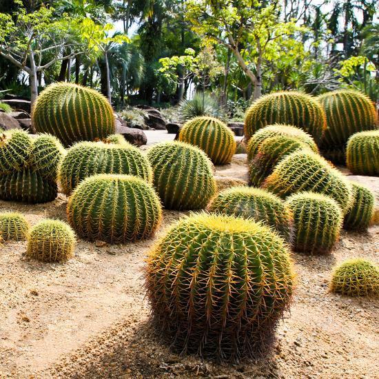 Giant Cactus in Nong Nooch Tropical Botanical Garden, Pattaya, Thailand.By doraclub