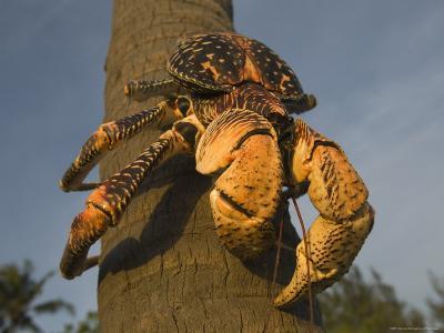 Giant Coconut Crab World's Largest Terrestial Crab, Chumbe Island, Zanzibar West, Tanzania-Ariadne Van Zandbergen-Photographic Print