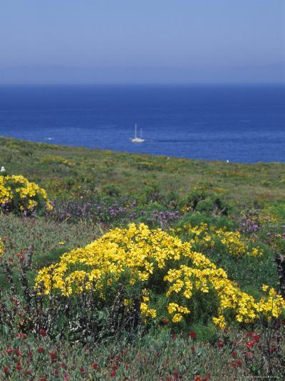 Giant Coeropsis, Blue Dicks and Ice Plant on Anacapa Island, California-Rich Reid-Photographic Print