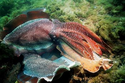 Giant Cuttlefish Males Fighting-Georgette Douwma-Photographic Print
