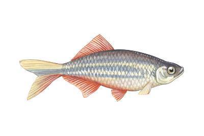 Giant Danio (Danio Malabaricus), Fishes-Encyclopaedia Britannica-Art Print