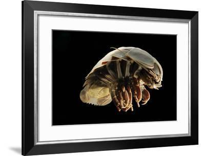 Giant Deepsea Isopod (Bathynomus Giganteus) Specimen From The South Atlantic Ocean-Solvin Zankl-Framed Photographic Print