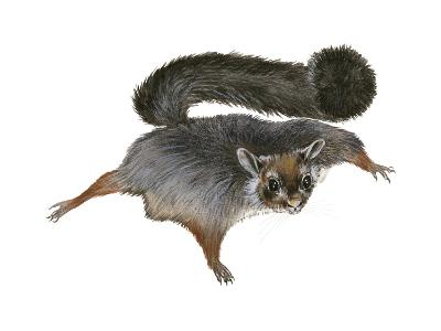 Giant Flying Squirrel (Petaurista), Mammals-Encyclopaedia Britannica-Art Print