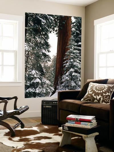 Giant Forest, Giant Sequoia Trees in Snow, Sequoia National Park, California, USA-Inger Hogstrom-Wall Mural