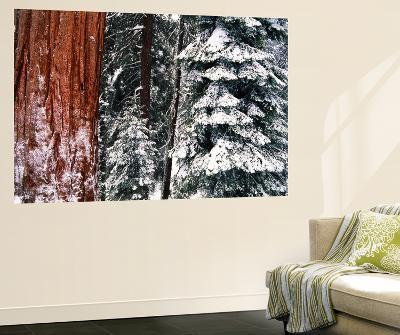 Giant Forest, Giant Sequoia Trees in Snow, Sequoia National Park, California, USA-Inger Hogstrom-Giant Art Print