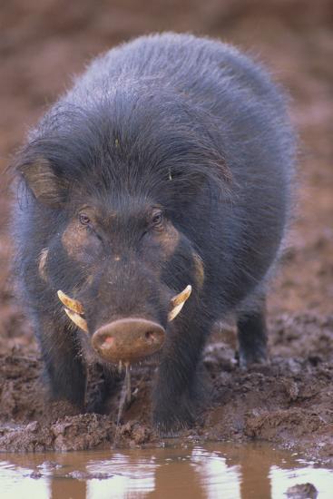 Giant Forest Wart Hog at Salt Lick-DLILLC-Photographic Print