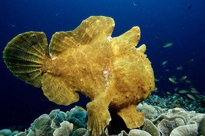 Giant Frogfish (Antennarius Commersonii), Pacific Ocean, Panglao Island.-Reinhard Dirscherl-Photographic Print