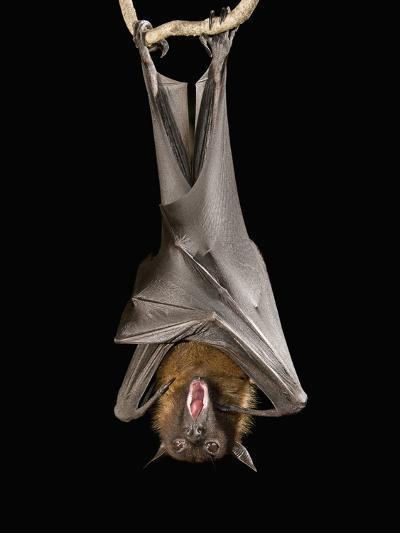 Giant Fruit Bat or Flying Fox (Pteropus Giganteus)-Joe McDonald-Photographic Print