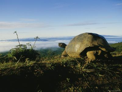 Giant Galapagos Tortoise near the Rim of the Alcedo Volcano, Galapagos Islands-Sam Abell-Photographic Print