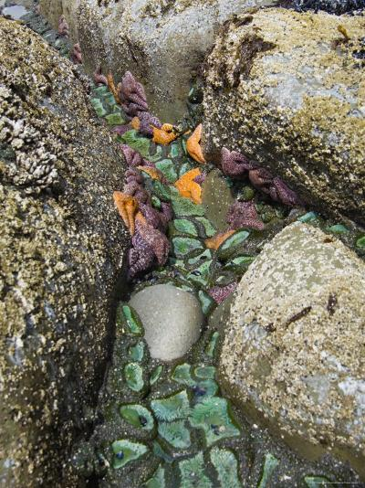 Giant Green Anemones, and Ochre Sea Stars, Exposed on Rocks, Olympic National Park, Washington, USA-Georgette Douwma-Photographic Print