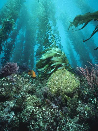 Giant Kelp (Macrocystis Pyrifera) Forest with Garibaldi, Channel Islands National Park, California-Flip Nicklin/Minden Pictures-Photographic Print