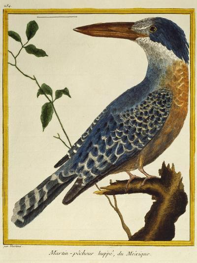 Giant Kingfisher (Megaceryle Maxima)--Giclee Print