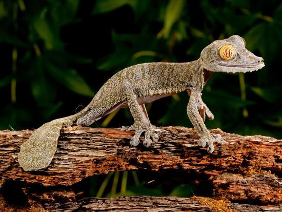 Giant Leaf-Tailed Gecko, Uroplatus Fimbriatus, Native to Madagascar-David Northcott-Photographic Print