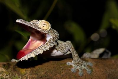 Giant Leaf-Tailed Gecko, Uroplatus Fimbriatus, Nosy Mangabe Reserve, Madagascar. Angry Gecko with O-Artush-Photographic Print