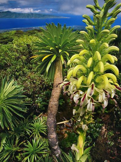 Giant Lobelia, Lobelia Gloria Montis, Lobelia Watershed Preserve, Maui, Hawaii-Frans Lanting-Photographic Print