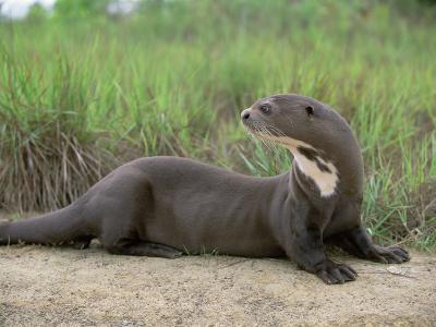 Giant Otter, Guyana-Pete Oxford-Premium Photographic Print