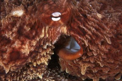 Giant Pacific Octopus-Alexis Rosenfeld-Photographic Print