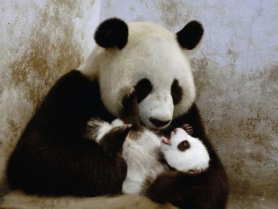 Giant Panda (Ailuropoda Melanoleuca) Caring for Cub, Wolong Nature Reserve, China-Katherine Feng-Photographic Print