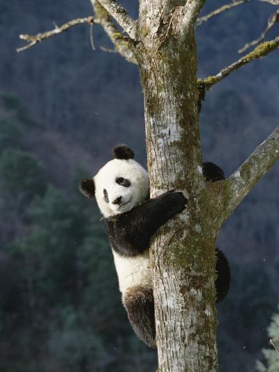 Giant Panda (Ailuropoda Melanoleuca) Climbing Tree, Endangered, Wolong Valley, China-Konrad Wothe-Photographic Print