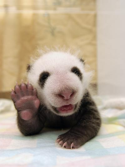 Giant Panda (Ailuropoda Melanoleuca) Cub, Wolong Nature Reserve, China-Katherine Feng-Photographic Print
