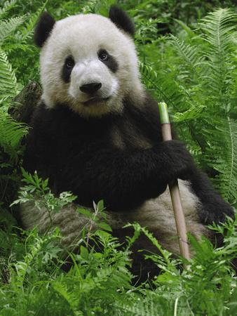 Giant Panda (Ailuropoda Melanoleuca) Eating Bamboo, Wolong China Conservation-Pete Oxford-Photographic Print