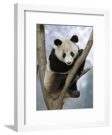 Giant Panda (Ailuropoda Melanoleuca) Endangered, in Tree, Wolong Valley, China-Pete Oxford-Framed Photographic Print