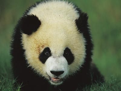 Giant Panda (Ailuropoda Melanoleuca) Endangered, of a One Year Old Cub-Cyril Ruoso-Photographic Print