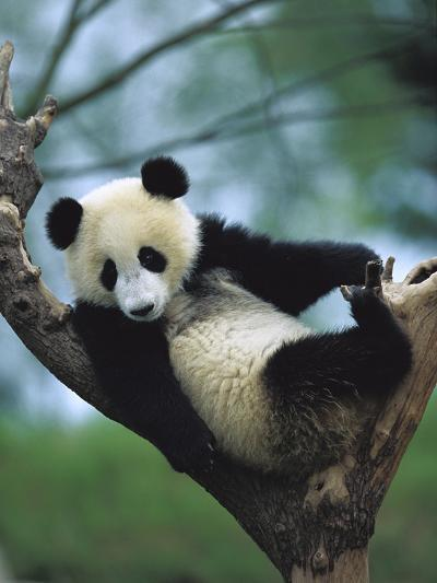 Giant Panda (Ailuropoda Melanoleuca) Endangered, One Year Old Cub in a Tree-Cyril Ruoso-Photographic Print