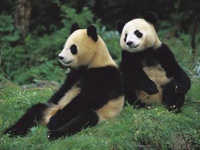 Giant Panda (Ailuropoda Melanoleuca) Endangered, Two Cubs Sitting-Cyril Ruoso-Photographic Print