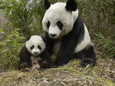 Giant Panda (Ailuropoda Melanoleuca) Mother and Her Cub, Wolong Nature Reserve, China-Katherine Feng-Photographic Print