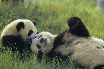 Giant Panda (Ailuropoda Melanoleuca) Mother And Young Playing, Captive, Sichuan, China. Non-Ex-Cyril Ruoso-Photographic Print