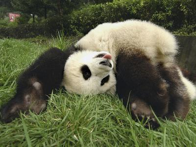 Giant Panda (Ailuropoda Melanoleuca) Rolling in Green Grass, Wolong Nature Reserve, China-Katherine Feng-Photographic Print