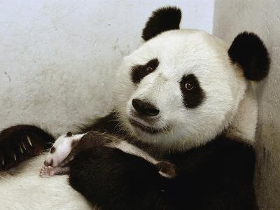 Giant Panda (Ailuropoda Melanoleuca) with Cub, Wolong Nature Reserve, China-Katherine Feng-Photographic Print