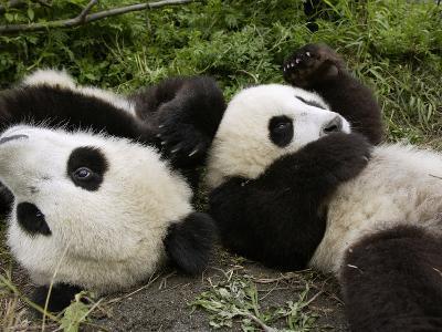 Giant Panda (Ailuropoda Melanoleuca) Young Pandas Playing, Wolong Nature Reserve, China-Katherine Feng-Photographic Print