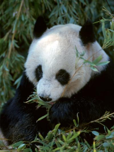 Giant Panda, Ailuropoda Melanoleuca-D^ Robert Franz-Photographic Print